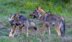 Auf den Spuren des Wolfes