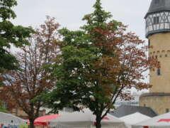 Bäume Bockenheimer Warte