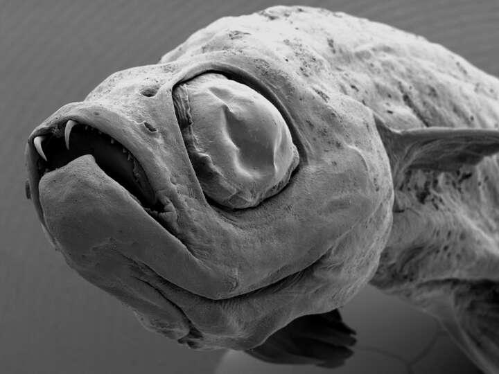 Fisch Danionella