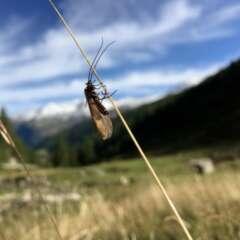 Köcherfliegen (Trichoptera)