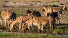 Mongolische Wildesel (Khulan)