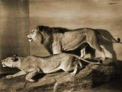 Historische Aufnahme Massai-Löwen