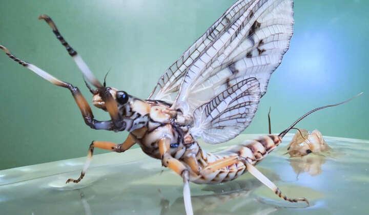 Modell des Insekts des Jahres 2021: die Dänische Eintagsfliege schlüpft aus ihrer Larvenhülle.