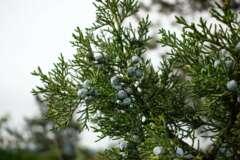 Wacholder Juniperus