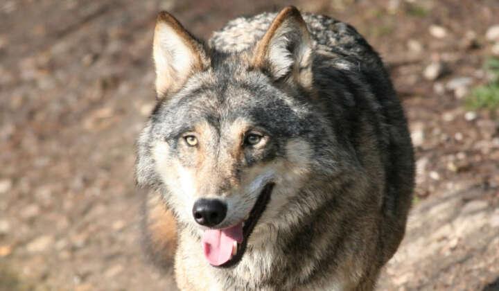 PM Wolf 16.04