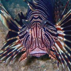 Indischer Rotfeuerfisch Pterois miles