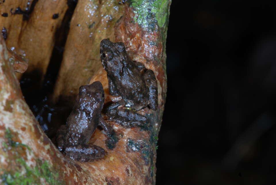 Die Laubstreufroschart Phrynobatrachus guineensis